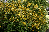Kerria japonica (Gefüllter Ranunkelstrauch) in voller Blüte