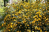 Kerria japonica 'Pleniflora' (Gefüllter Ranunkelstrauch)