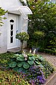 Vorgarten mit Hosta (Funkie), Campanula (Glockenblumen) und Myrtus (Myrten) im Kübel
