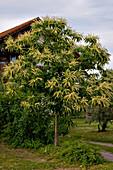 Castanea sativa (Esskastanie, Marone) blühend im Vorgarten