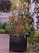 Camellia sasanqua 'Hiryu' (Kamelie)
