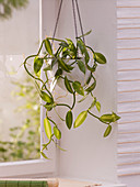 Vanilla planifolia 'Echte Vanille' (Vanille - Orchidee)