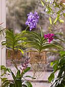 Vanda - Orchideen in selbstgebautem Bambus - Korb 5/5