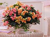 Begonia elatior (Begonien) in breiter Schale zusammengepflanzt