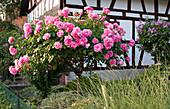 Rosa 'Bonica 82' (Hochstammrose) vor Fachwerkhaus