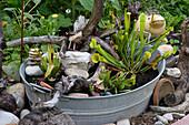 Mini - Moorbeet in Zinkwanne mit Sarracenia (Schlauchpflanze),