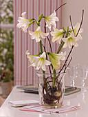 Hippeastrum (Amaryllis) mit ausgewaschenen Wurzeln im Glas