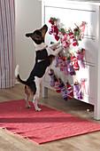 Hund 'Max' beschnuppert Adventskalender an Kommode