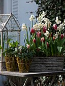 Narcissus 'Bridal Crown' (Narzissen), Tulipa 'Leen van der Mark'