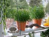 Senecio barbertonicus 'Himalaya' (Greiskraut, Kreuzkraut)