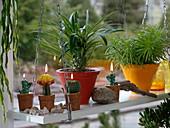 Pachypodium (Madagaskarpalme), Senecio barbertonicus 'Himalaya'
