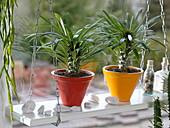 Pachypodium (Madagaskarpalmen)