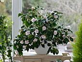 Camellia japonica 'Berenice Boddy' (weiß-rosa Kamelie) am Fenster