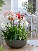 Schale bepflanzt mit Hippeastrum (Amaryllis), Syngonium (Purpurtute)