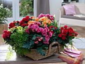 Korb bepflanzt mit Begonia elatior (Begonien), Adiantum 'Fragrans'