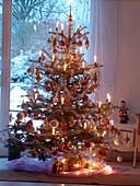 Picea pungens 'Glauca' (Stechfichte) geschmückt als Weihnachtsbaum