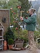 Frau hängt Vogelfutter an Prunus (Kirschbaum) im Korbübertopf