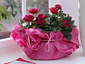 Rote Rosa chinensis (Topfröschen) in pinkem Seidenpapier als Geschenk