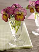 Blüten von Viola cornuta Gem 'Apricot Antique' (Hornveilchen)