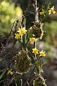 Narcissus 'Tete a Tete' (Narzissen) hängend im Moosbett