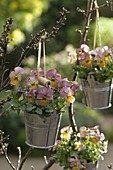 Viola cornuta Gem 'Apricot Antique' (Hornveilchen)