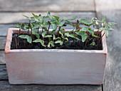 Kletterpflanzen - Aussaat