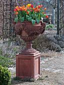 Amphore mit Tulipa 'Flair' (Tulpen) im Rosengarten