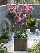 Prunus persica 'Amber var. Pixzee' (Zwergpfirsich) unterpflanzt mit Tulipa