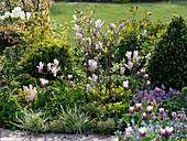 Frühlingsbeet mit Magnolia soulangeana (Tulpenmagnolie)