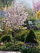 Frühlingsbeet Prunus incisa 'Kojou-no-mai' (Japanische Zierkirsche)
