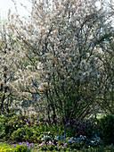 Amelanchier laevis (Kahle Felsenbirne) unterpflanzt mit Tulipa (Tulpen)