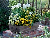 Holzkorb mit Tulipa 'White Dream' (Tulpen), Erysimum 'Winter Sun'