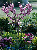 Prunus persica 'Amber var. Pixzee' (Zwergpfirsich)
