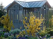 Teehaus im Frühlingsgarten mit blühender Forsythia (Goldglöckchen)
