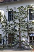 Malus (Spalier - Apfelbaum) an der Hauswand gezogen