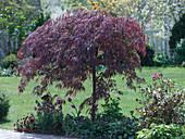 Acer palmatum 'Dissectum Garnet' (Dunkelroter Schlitzahorn)
