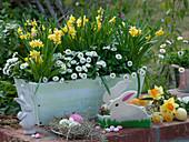 Weißer Holzkasten mit Narcissus 'Tete a Tete' (Narzissen) und Bellis