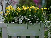 Narcissus 'Tete a Tete' (Narzisssen) und Bellis (Tausendschön)