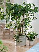 Ficus benjamina (Birkenfeige) zurückschneiden 5/5