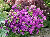 Rhododendron obtusum 'Königsstein' (Japanische Azalee)