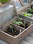 Gemüse - Jungpflanzen in Mini-Gewächshäusern auf der Terrasse