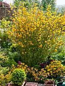 Kerria japonica 'Pleniflora' (Ranunkelstrauch) im Beet
