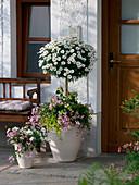 Kübel mit Argyranthemum frutescens 'Stella 2000' (Margeriten), Stamm