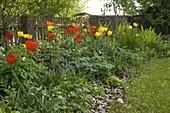 Staudenbeet im Frühling mit Tulipa 'Apeldoorn' 'Golden Apeldoorn'(Tulpen)