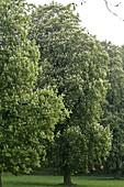 Aesculus hippocastanum (Kastanien) im Park