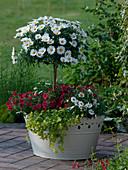 Argyranthemum frutescens 'Stella 2000' (Margerite - Stamm), Calibrachoa