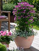 Pelargonium crispum Angeleyes 'Burgundy' (Engelsgeranie)