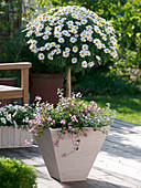 Argyranthemum frutescens 'Stella 2000' (Margerite), Stamm unterpflanzt