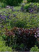 Naturgarten mit Penstemon 'Huskers Red' (Bartfaden), Aquilegia caerulea