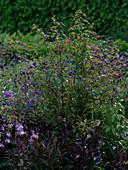 Neillia affinis (Rote Traubenspiere), Aquilegia (Akelei)